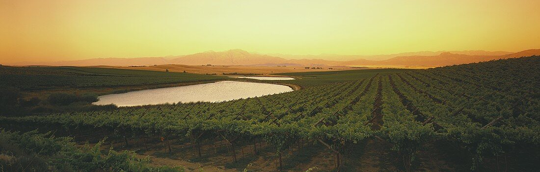 Evening in vineyard, Swartland, S. Africa