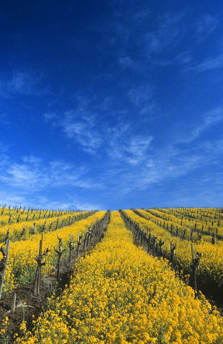 Mustard flowers in vineyard, spring, Carneros, Napa Valley, USA