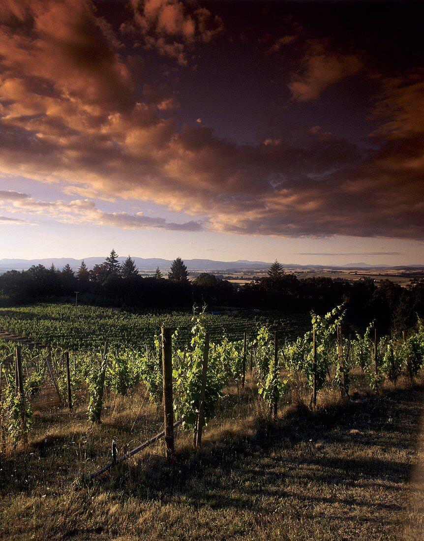 Weinberg von Amity Vineyards, Amity, Oregon, USA