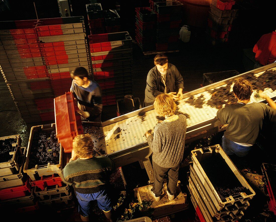 Sorting table for grapes