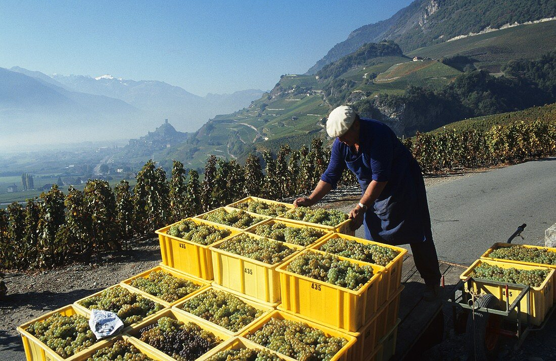Grape picker in Saillon, Valais, Switzerland