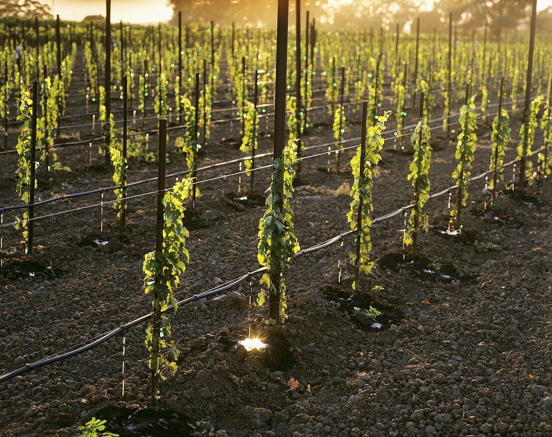 Drip irrigation, Napa Valley, California