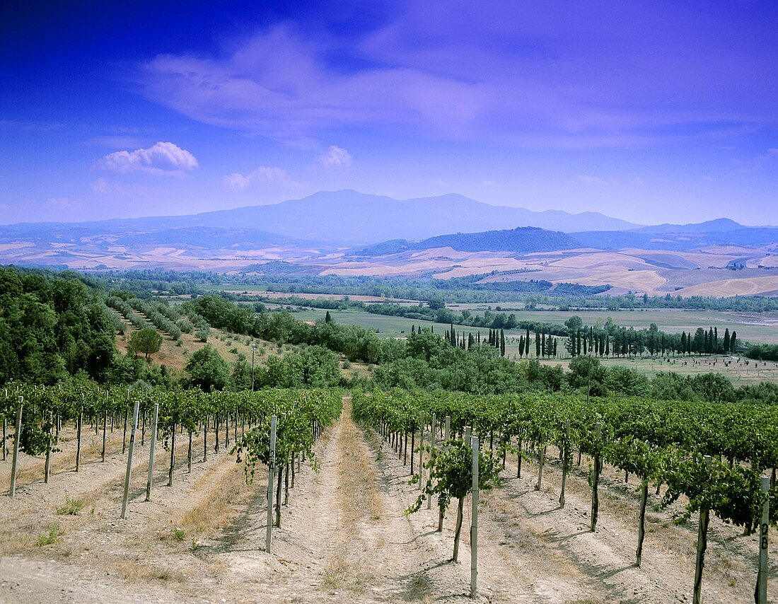 Villa Banfi vineyards, Montalcino, Tuscany, Italy