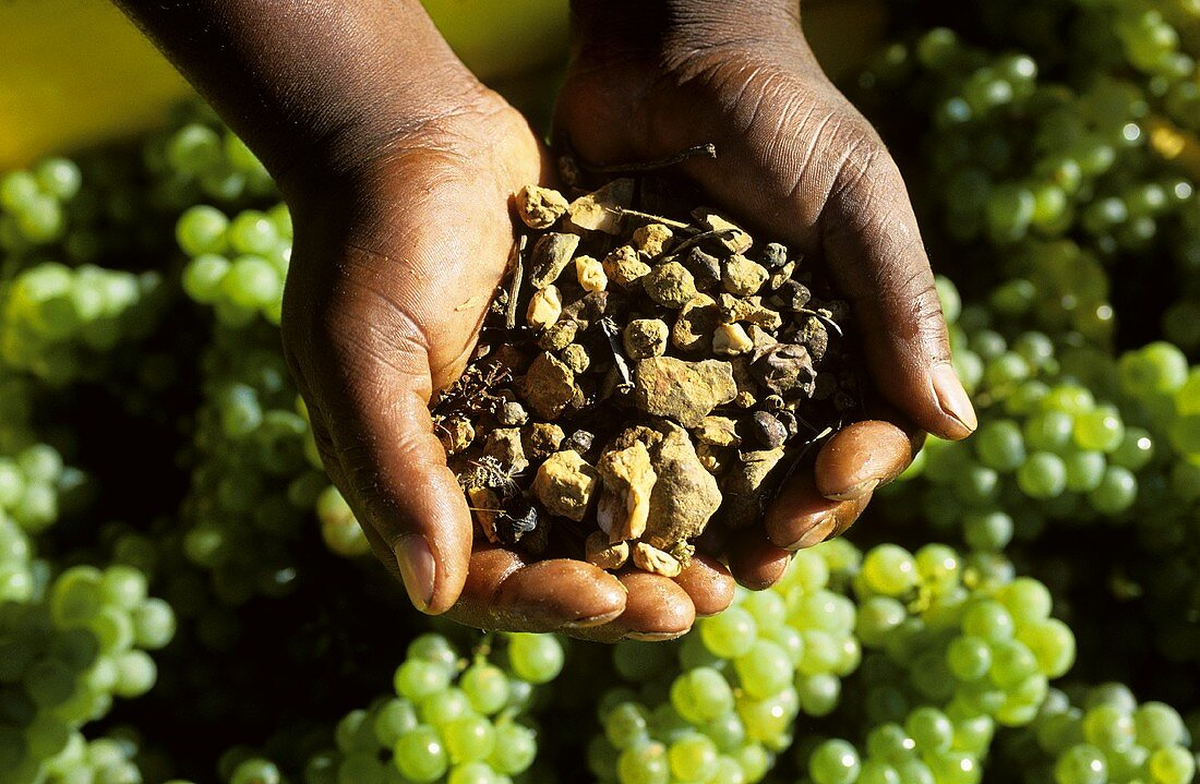 'Terroir' hands of black person holding soil sample and grapes
