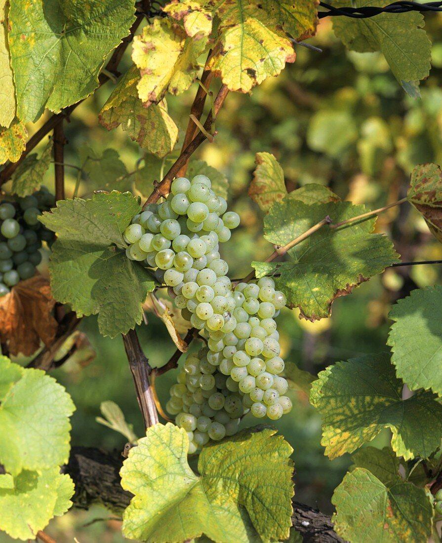 Furmint - main grape variety of Hungarian Tokay