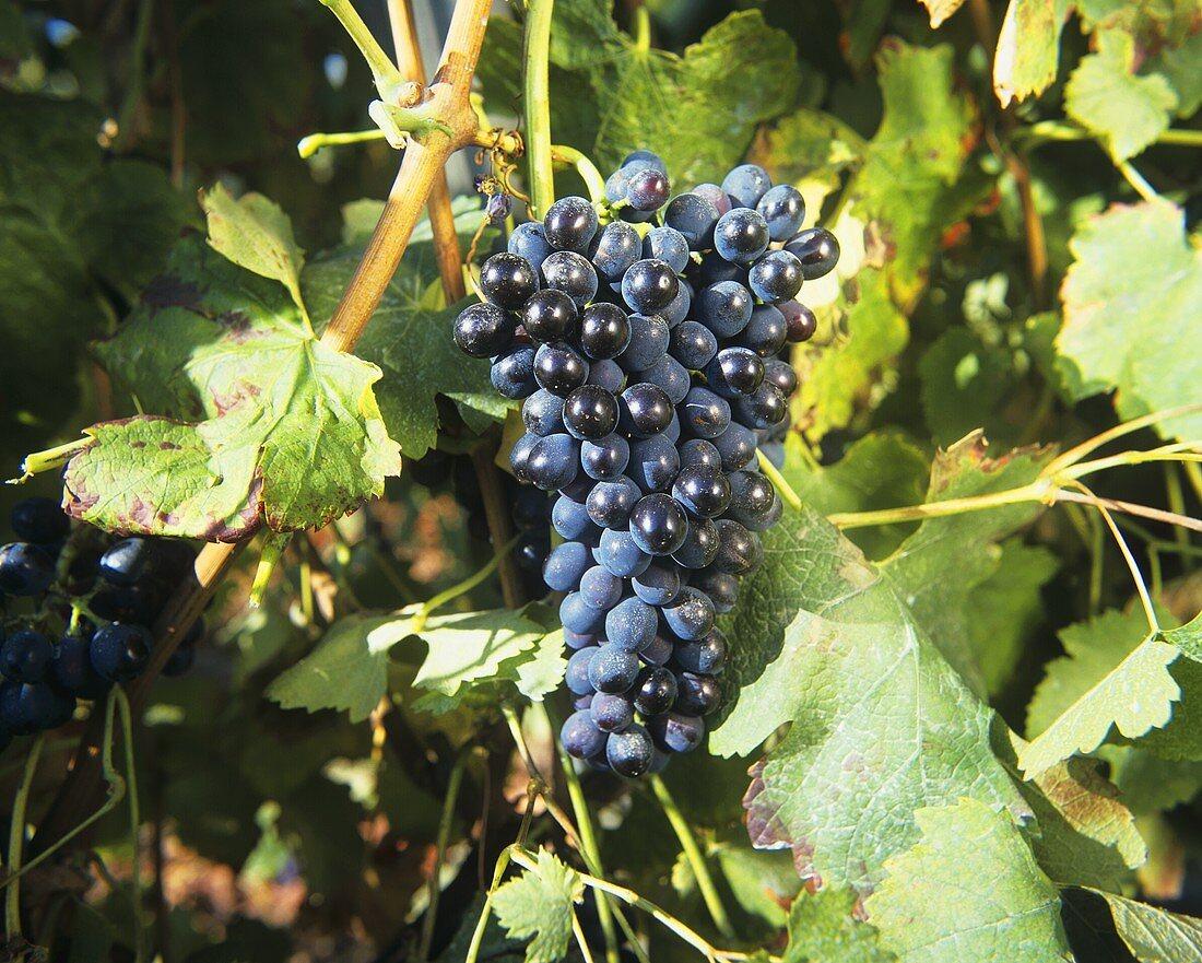 Syrah grapes (also known as Shiraz)