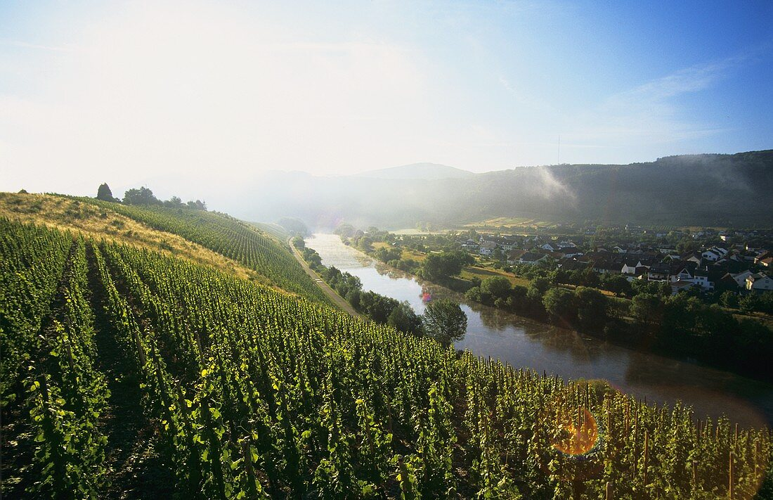 Vineyards on the Saar at Schoden, Germany