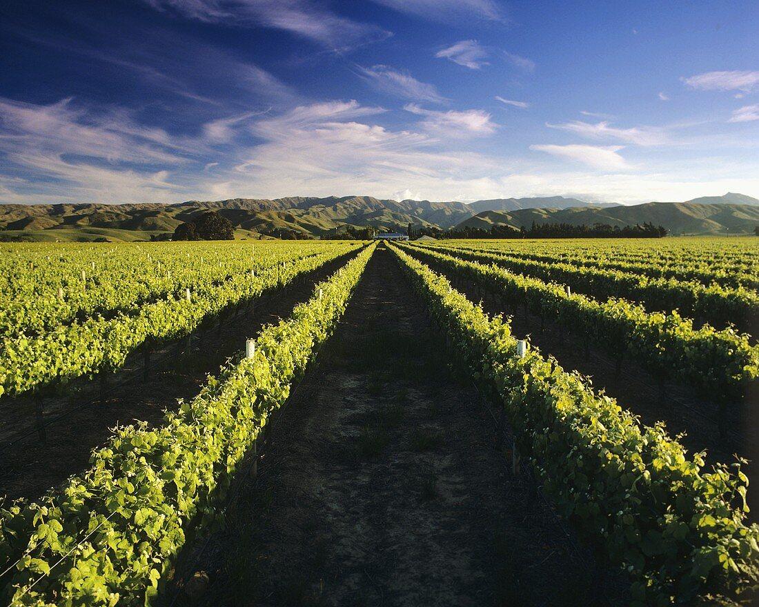Wine country, Brancott Estate, Marlborough, N. Zealand