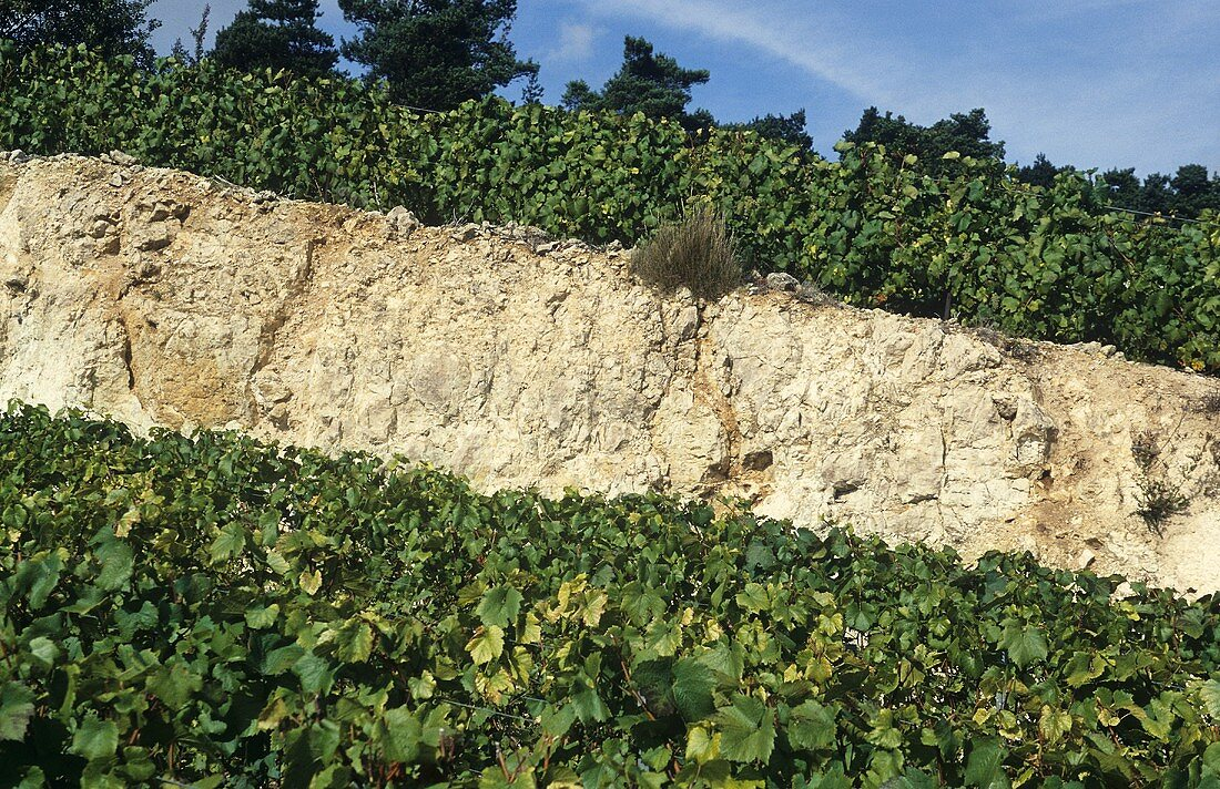 The famous chalky soil of Champagne, France