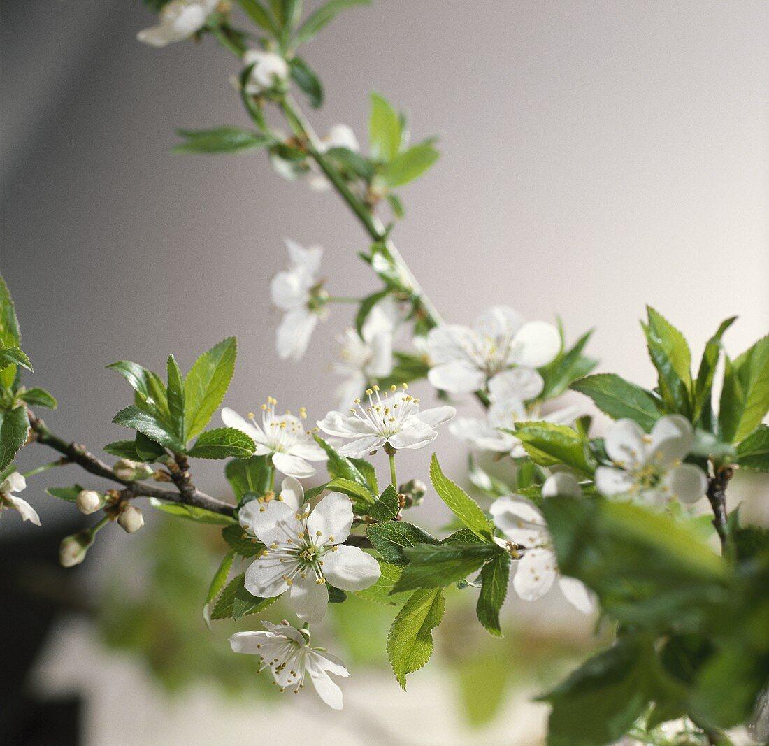 Plum blossom (Prunus domestica) on branch