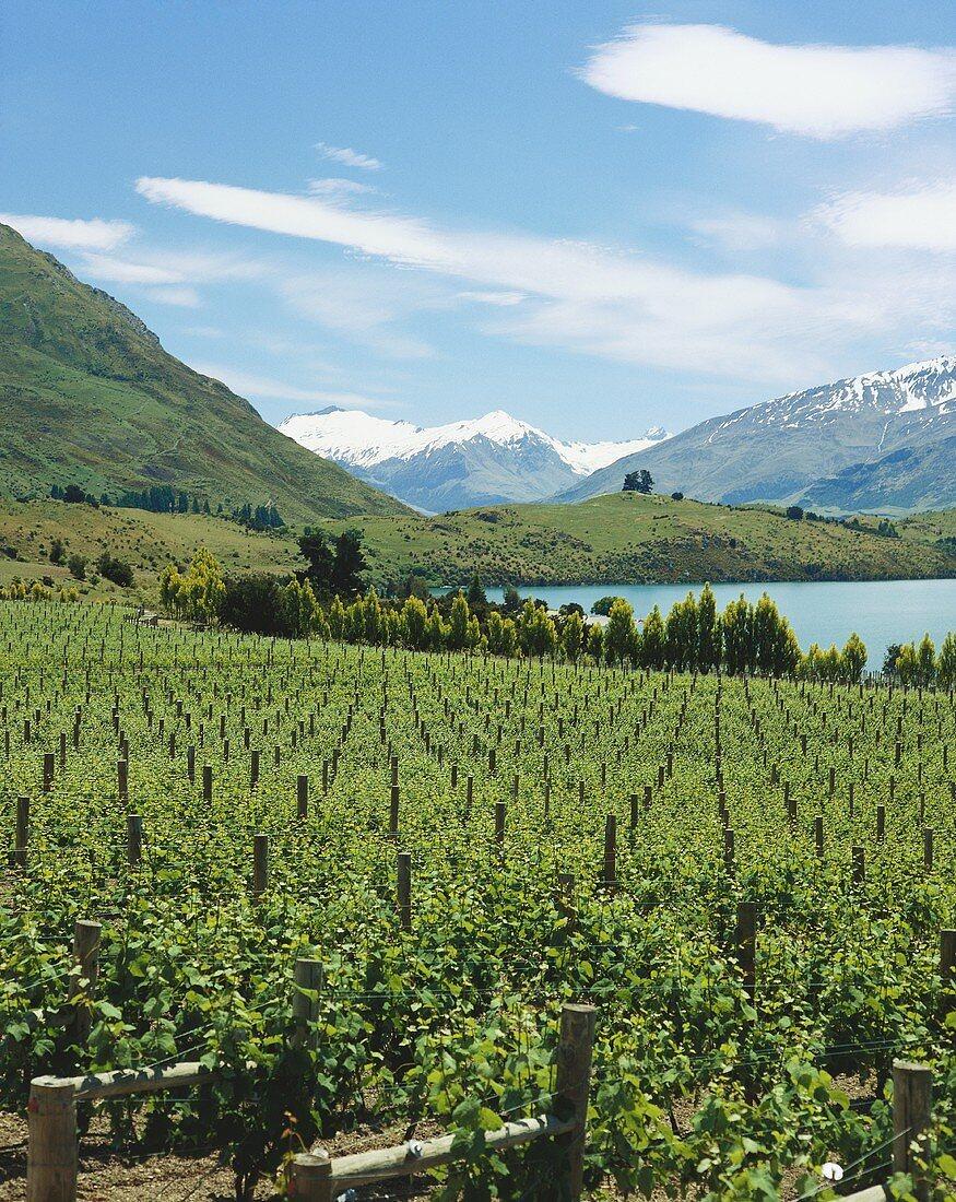 Rippon Vineyard on Lake Wanaka, Central Otago, N. Zealand