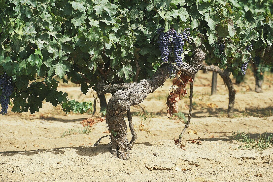 80-year-old Merlot vines with grapes