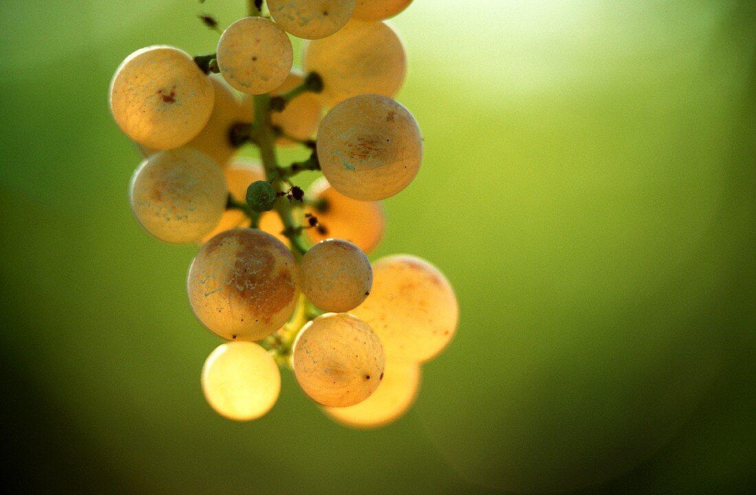 Light coloured grapes backlit against green background