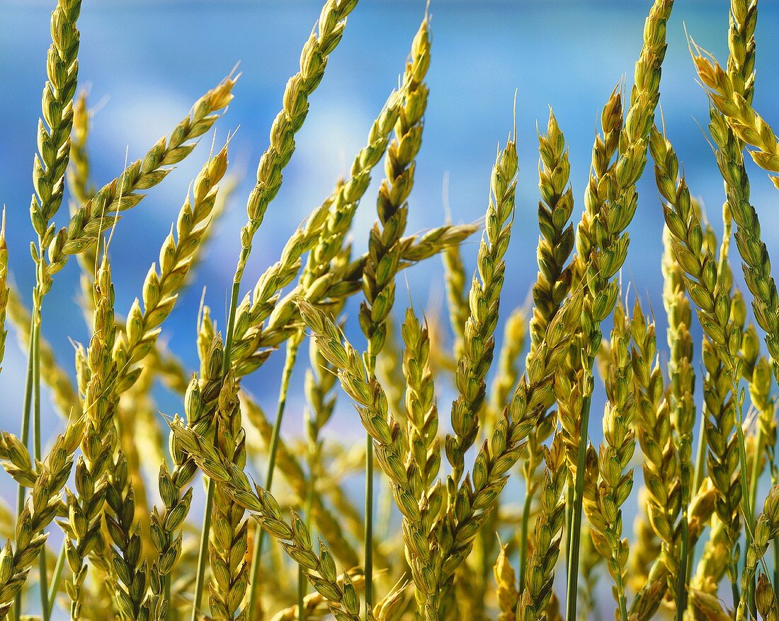 Ears of green rye in front of a blue sky