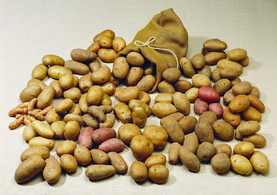 Many different varieties of potatoes with a sack