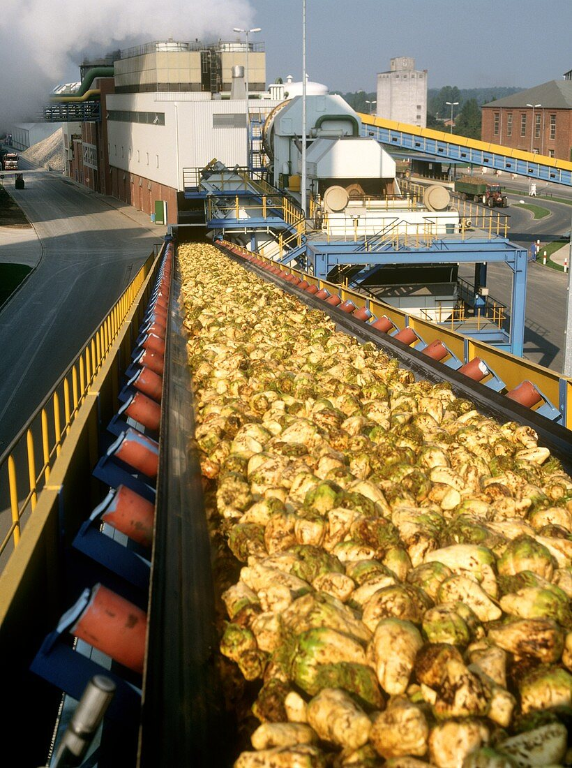 Sugar beet going to the sugar fabric on a conveyor belt
