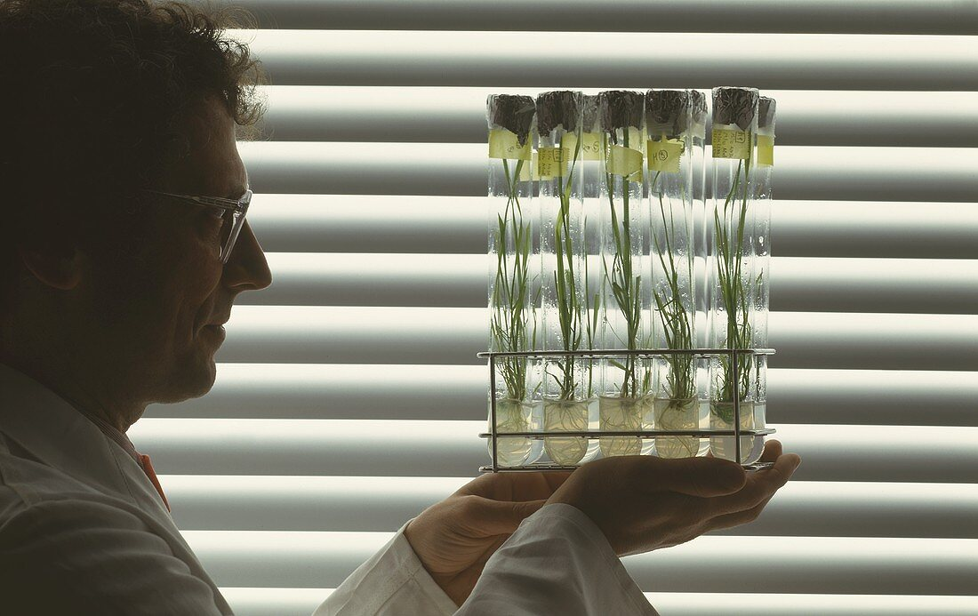 Researcher with in vitro cultures of cereals in test tubes