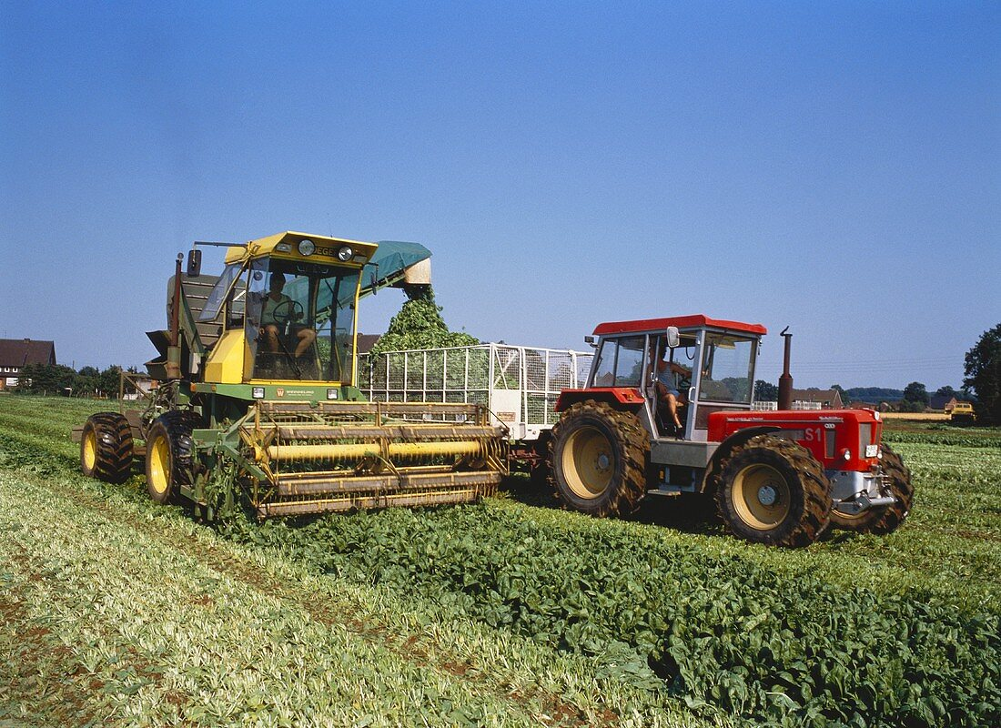 Harvesting spinach with a spinach mowing machine