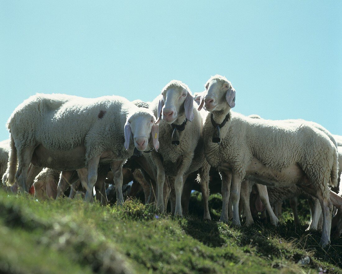 Mountain sheep in the pasture