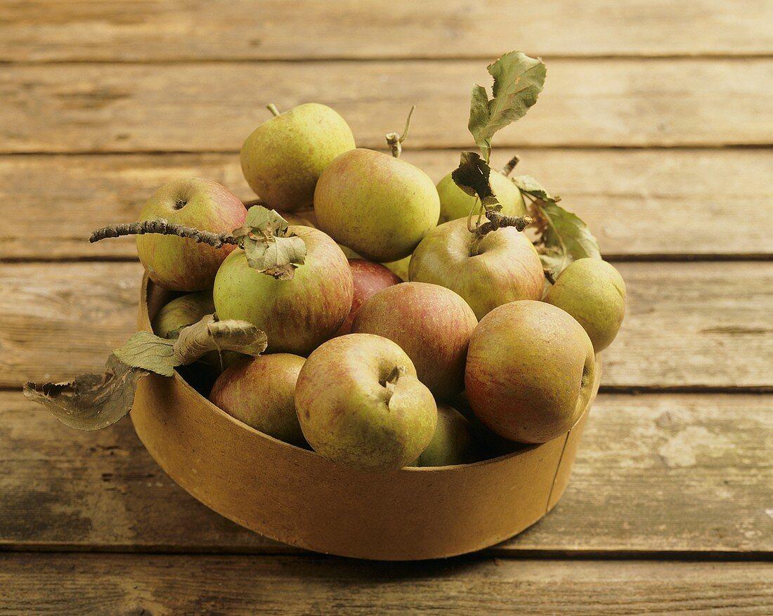 Frische Äpfel der alten Apfelsorte Lederrenetten in Schale