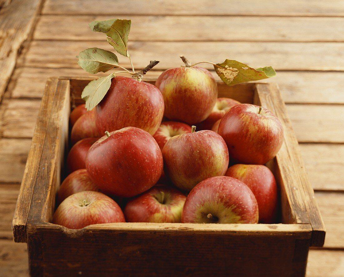 Äpfel der alte Sorte Riesenborten in Holzkiste