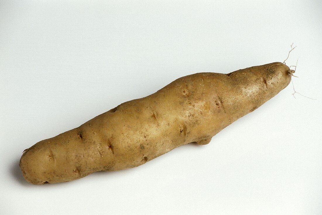 A potato (variety: Bamberger Hörnchen)