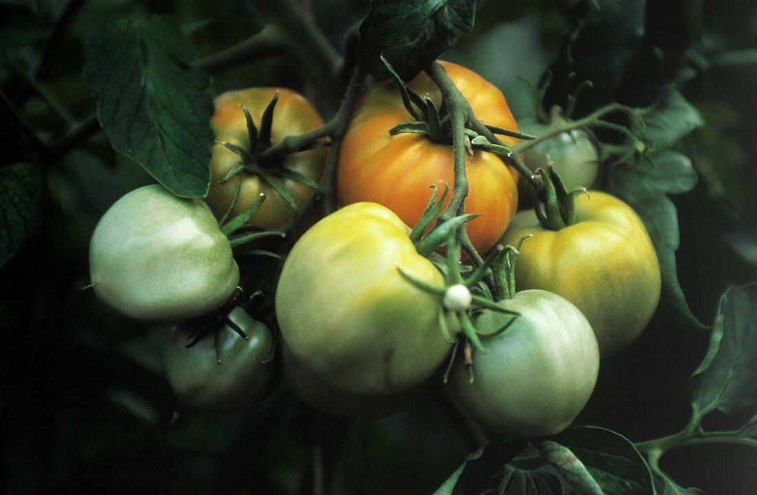 Unripe Tomatoes on the Vine