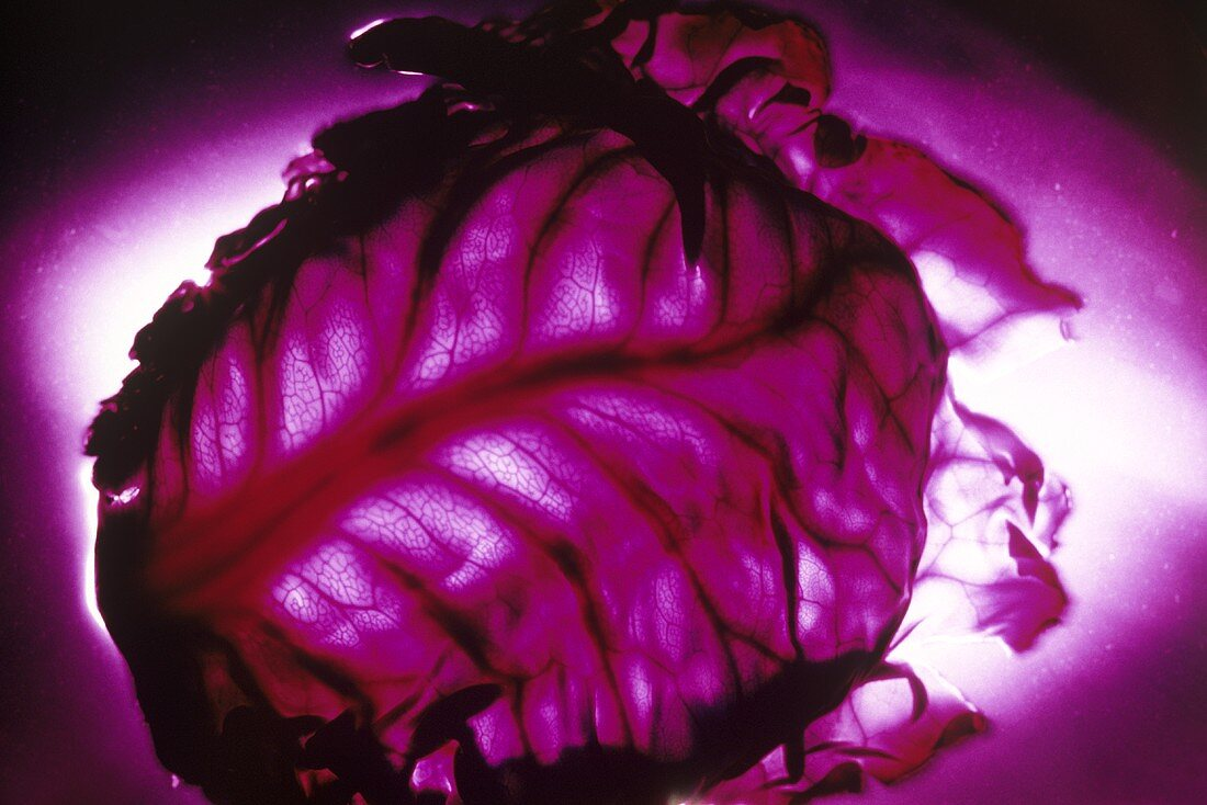 Red cabbage on a lilac background