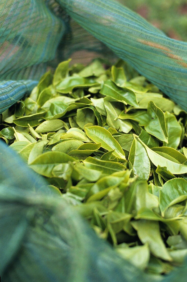 Fresh tea leaves in a sack (Munnar, India)