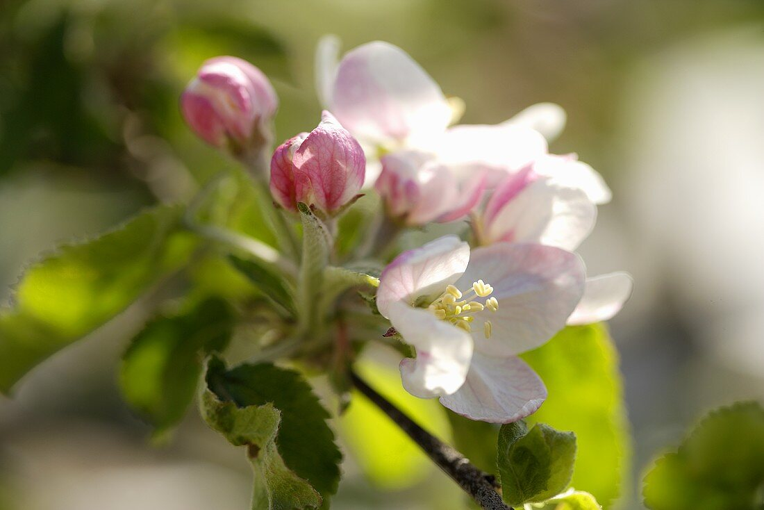Apple blossom, variety Jonathan (close-up)