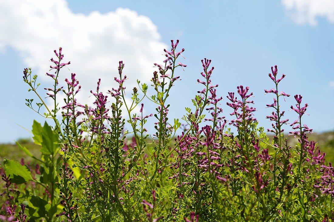 Flowering fumitory growing wild