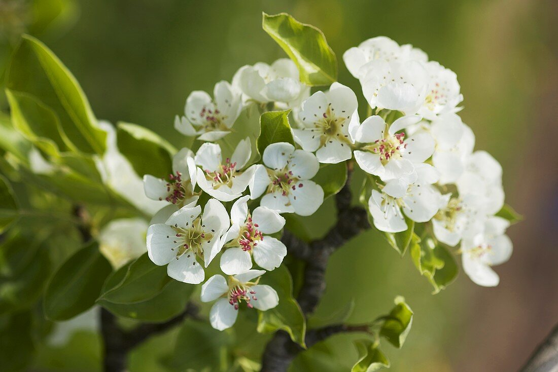 A sprig of pear blossoms (variety: beurre gris)