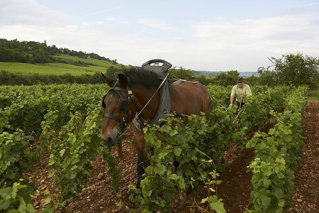 Wine-grower working with horse in vineyard