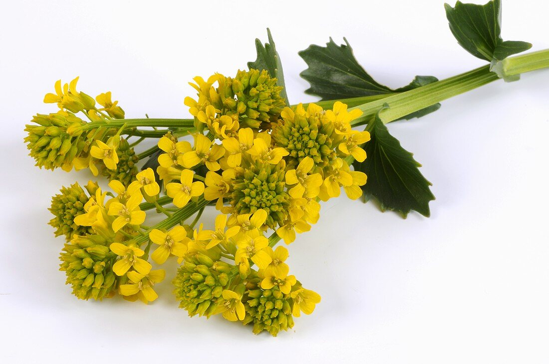 Common yellow rocket or winter cress with flowers