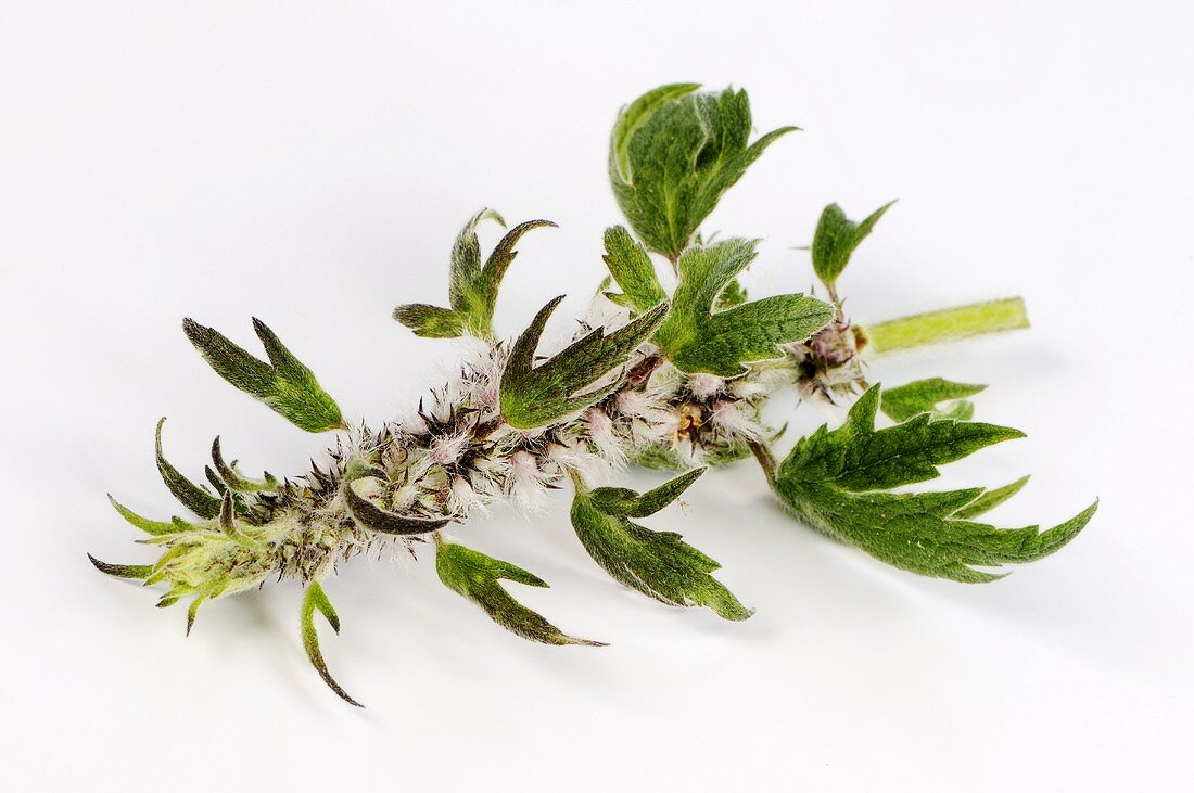 A sprig of motherwort
