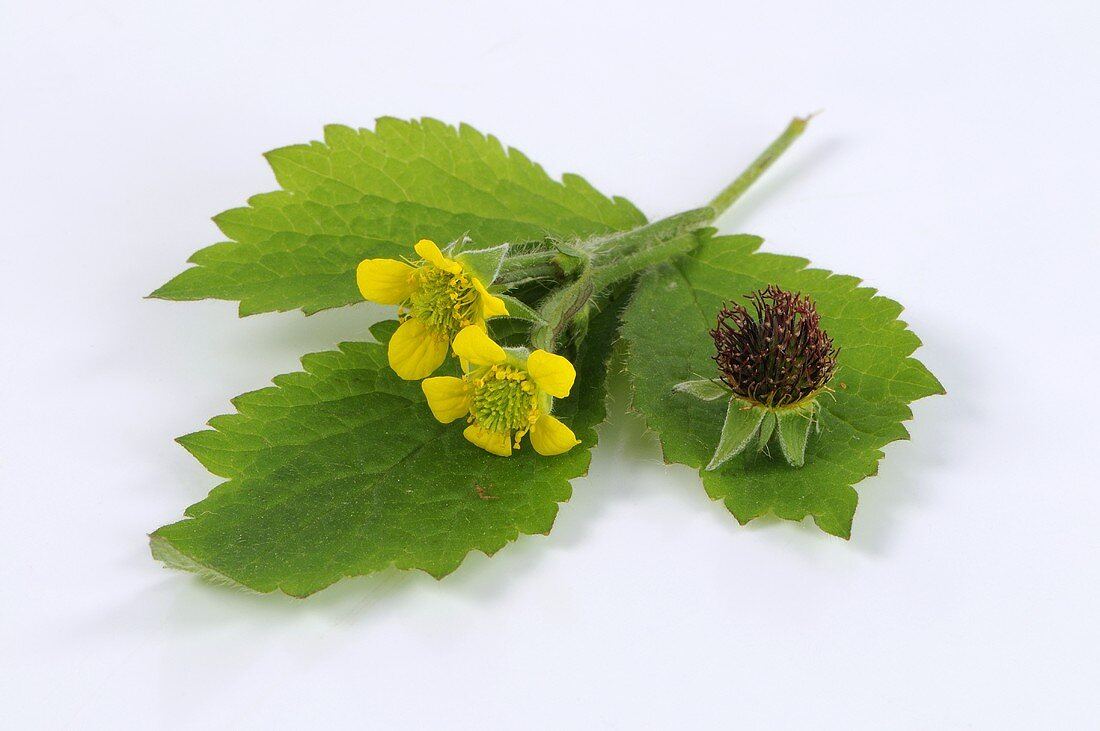 Herb bennet (leaf and flowers)