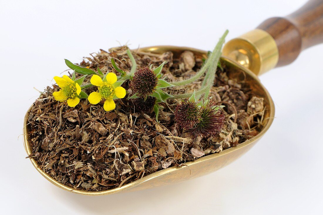 Herb bennet (fresh, dried and flowers) in scoop