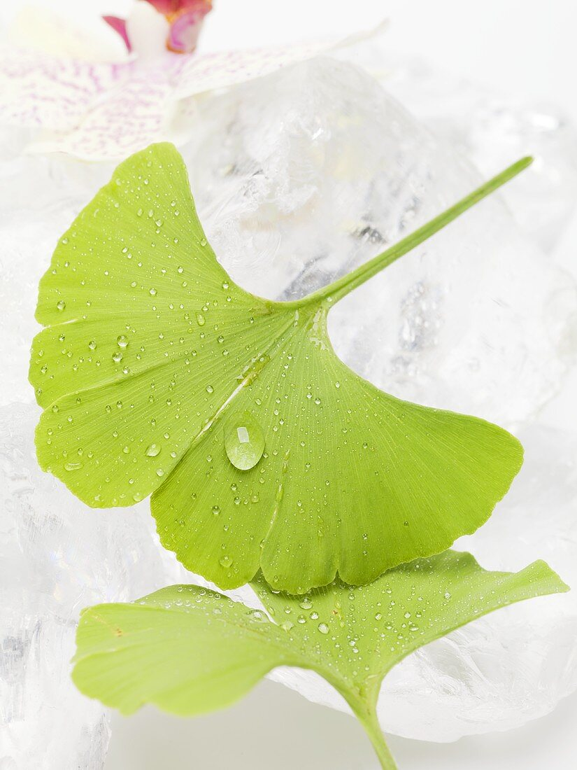 Gingko leaves with drops of water on ice cubes