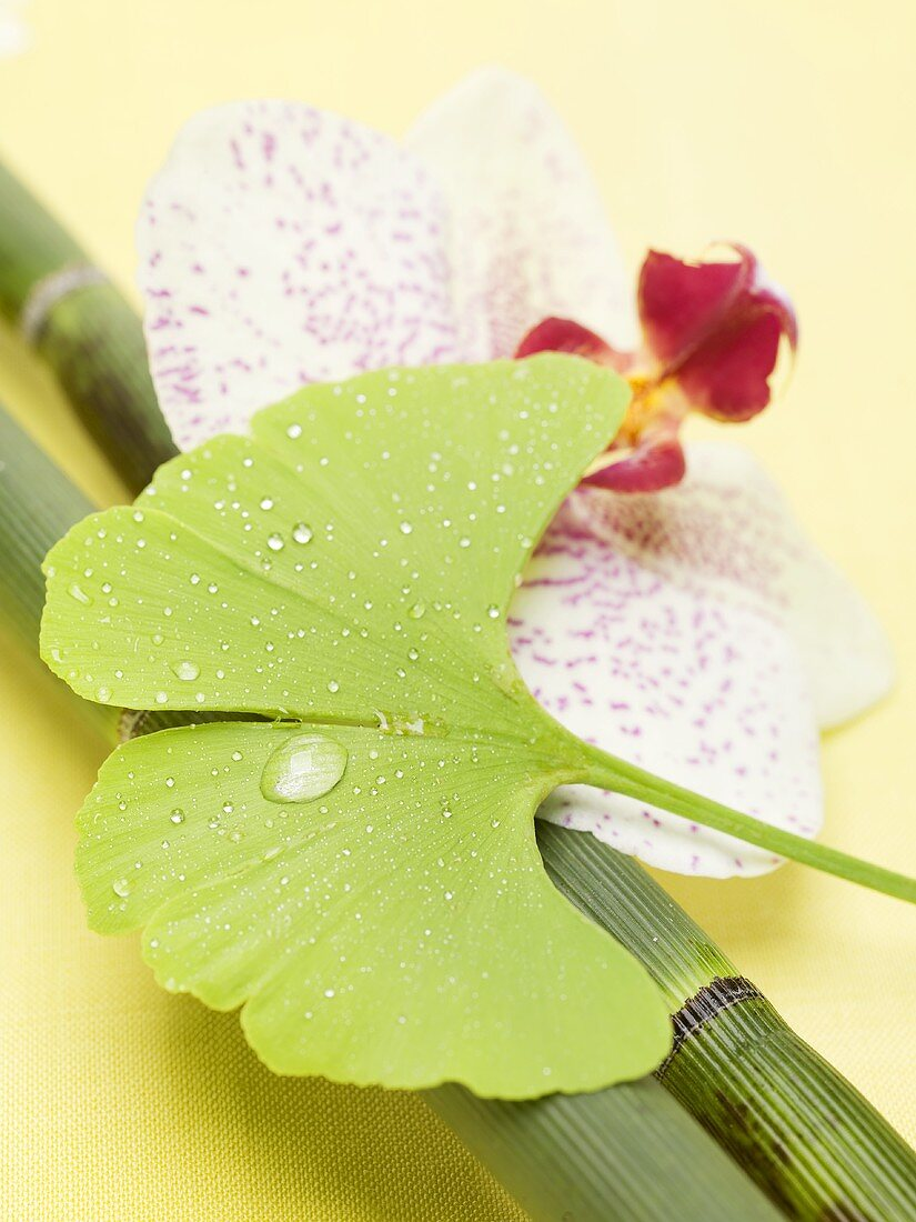 Gingko leaf with drops of water, orchid and bamboo