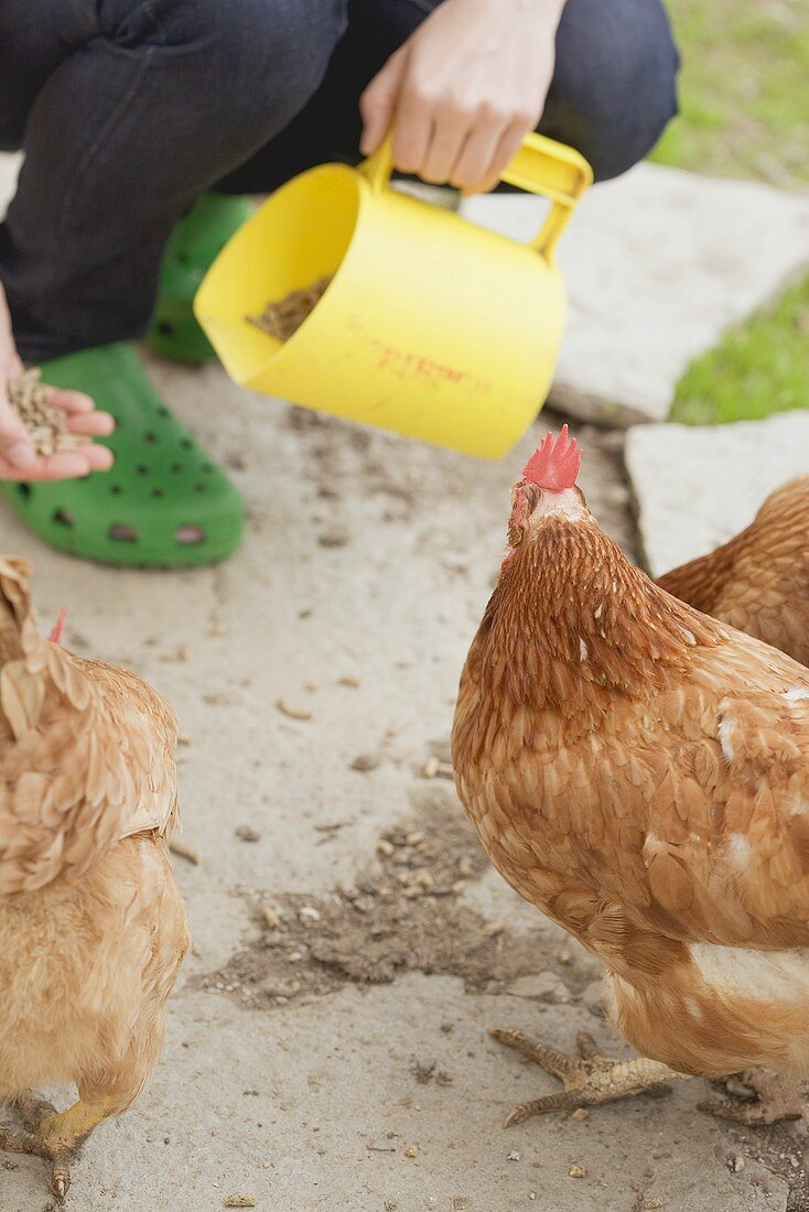 Hens being fed