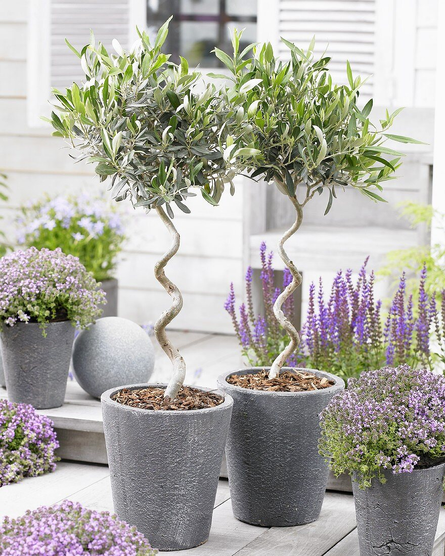 Small olive trees in pots on terrace