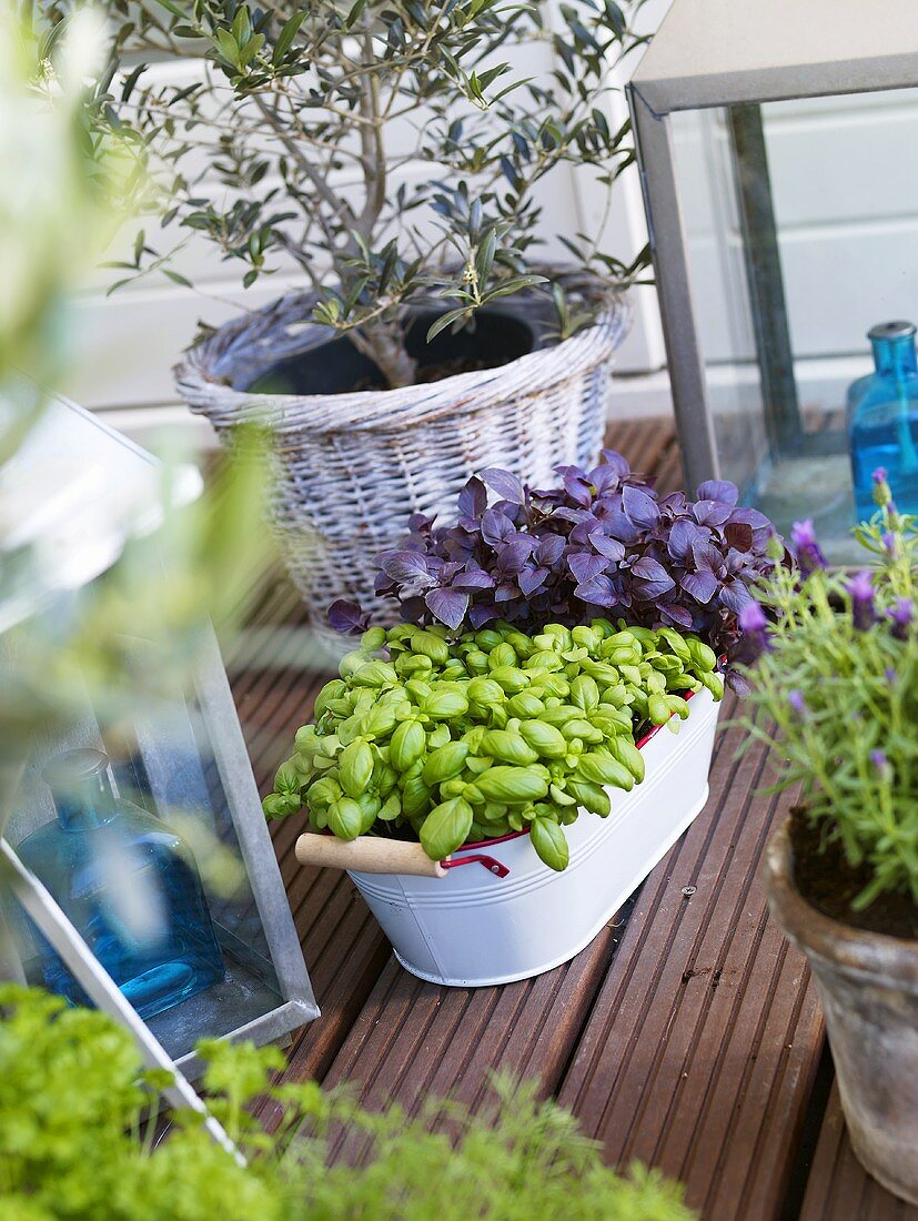 Various herbs and small olive tree on terrace