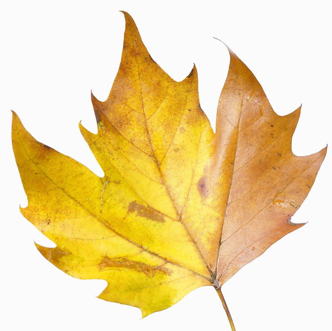 London plane leaf (Platanus x hispanica)