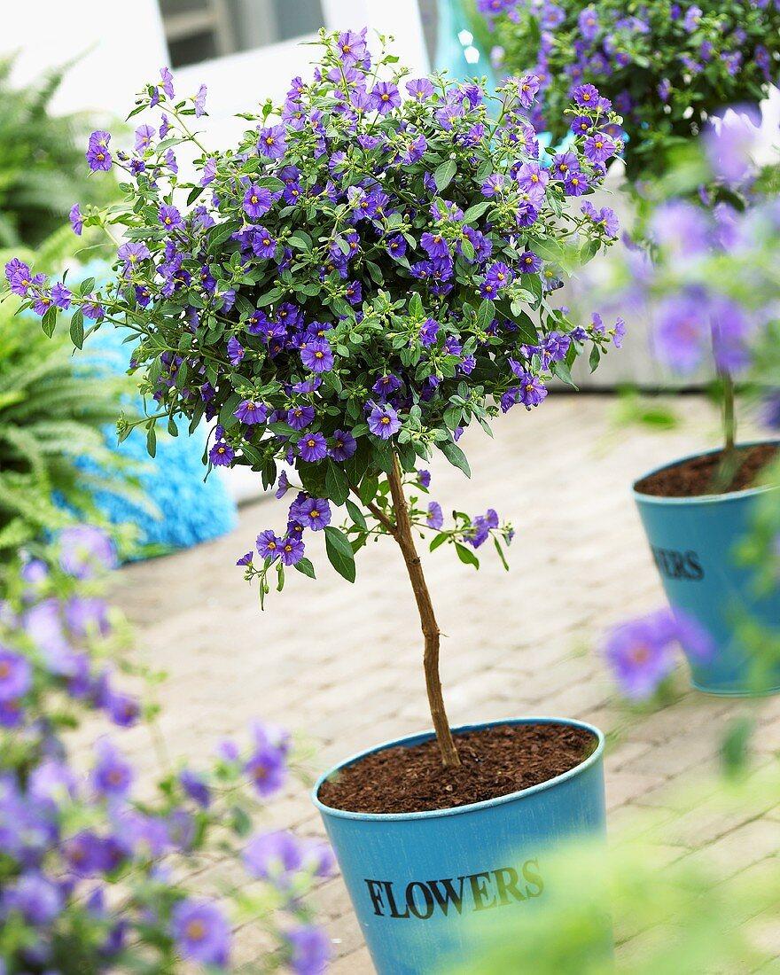 Blue potato bush on terrace