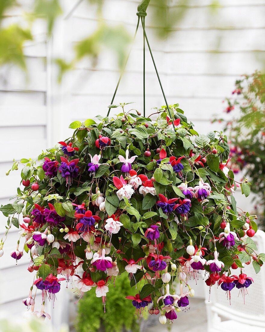Fuchsias in hanging basket in front of house