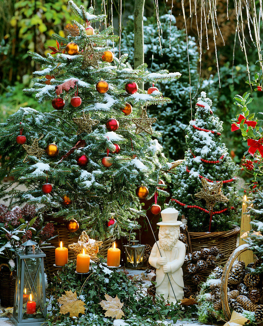Pine tree decorated for Christmas with ornamental apples
