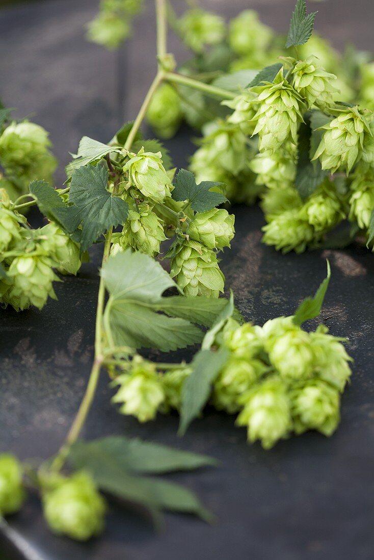 Hop stalks with hops