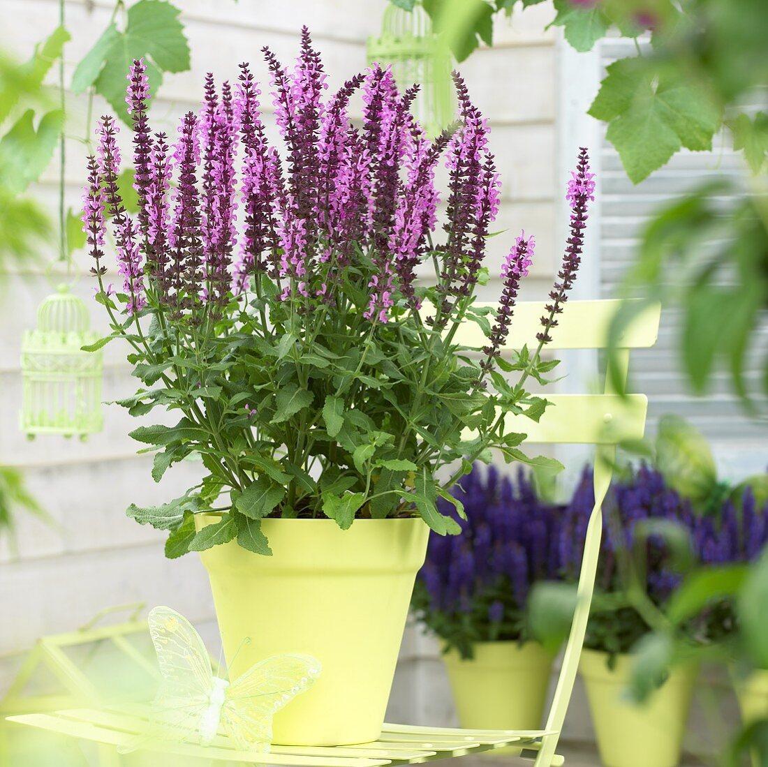 Salvia nemorosa 'Sensation Deep Rose' in flowerpot