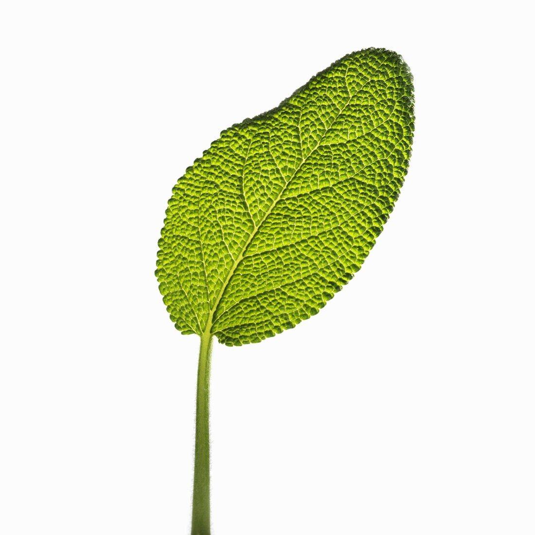 A sage leaf (backlit)
