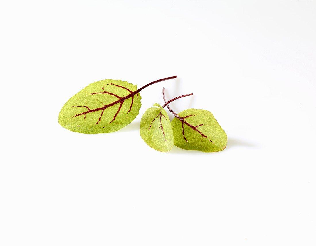 Red-veined dock leaves (Rumex sanguineus)